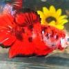 ปลากัดคัดเกรดครีบสั้น - Halfmoon Plakad Fancy Red Koi Premium Quality Grade