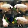 ปลากัดคัดเกรดครีบสั้นล - Halfmoon Plakad Gold Dragon Premium Quality Grade