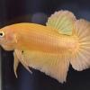ปลากัดคัดเกรดครีบสั้น - Halfmoon Plakad Super Gold Premium Quality Grade 3.