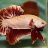 ปลากัดคัดเกรดครีบสั้น - Halfmoon Plakad Red Dragon Premium Quality Grade