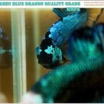 ปลากัดยักษ์ครีบสั้น (Giants Plakad Premuim Quality Grade)