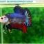 """(ขายแล้วครับ)""""คัดเกรด""""ปลากัดครีบสั้น-Halfmoon Plakats Fancy Dragon Quality Grade thumbnail 5"""
