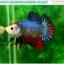 """(ขายแล้วครับ)""""คัดเกรด""""ปลากัดครีบสั้น-Halfmoon Plakats Fancy Dragon Quality Grade thumbnail 4"""