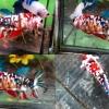 (สามสีแม่พันธุ์)ปลากัดคัดเกรดครีบสั้น - Halfmoon Plakad Fancy KOI 3 สี Premium Quality Grade