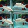 ปลากัดคัดเกรดครีบสั้นลายปลาคราฟ - Halfmoon Plakad Fancy Koi Premium Quality Grade