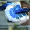 ปลากัดคัดเกรดครีบยาว - Halfmoon Fancy Blue Butterfly Premium Quality Grade AAA+