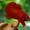 ปลากัดคัดเกรดครีบสั้น - Halfmoon Plakad Super Red Premium Quality Grade