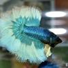 ปลากัดคัดเกรดครีบยาว - Halfmoon Fancy Green Butterfly Premium Quality Grade AAA+