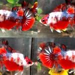 """Koi"" ปลากัดคัดเกรดครีบสั้น - Halfmoon Plakad Fancy Koi Premium Quality Grade"