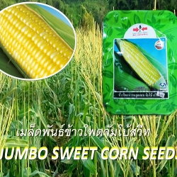 Jumbo Sweet Corn Seeds 1 kilogram