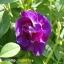 BUTTERFLY PEAดอกอัญชันแห้ง