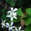 ผีเสื้อราตรี เขียวดอกขาว thumbnail 5