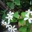 ผีเสื้อราตรี เขียวดอกขาว thumbnail 4