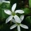 ผีเสื้อราตรี เขียวดอกขาว thumbnail 2