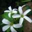 ผีเสื้อราตรี เขียวดอกขาว thumbnail 1
